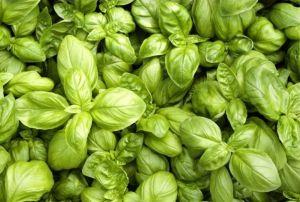 Huile Essentielle Bio Basilic Grand Vert